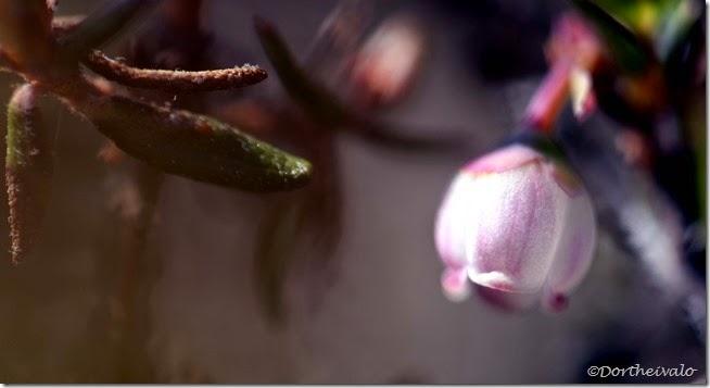blåbærblomst