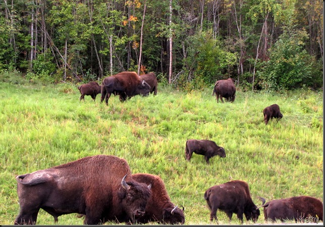 Bison on the bank
