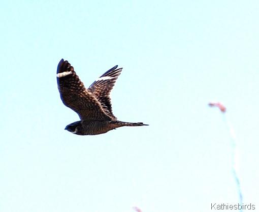 7. nighthawk-kab