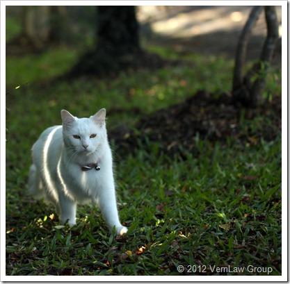 WhiteCatIMG6336LL