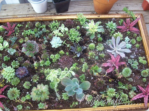 I will craft - framed succulents