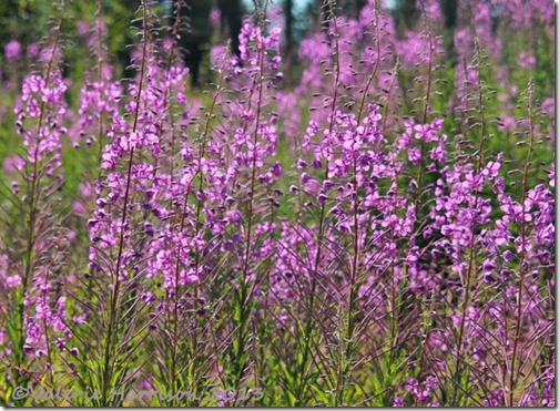 3-Rosebay-Willowherb