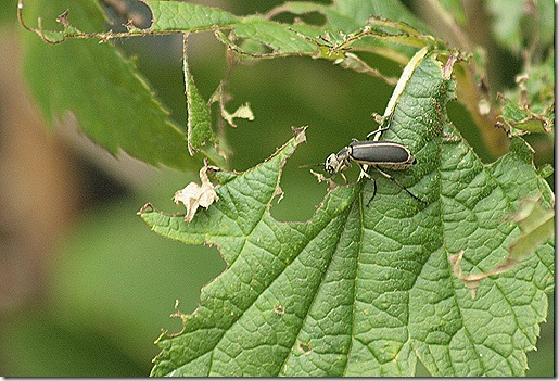 Blister_Beetles
