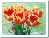 lanigan tulips