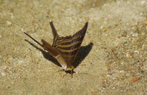 Marpesia chiron FABRICIUS, 1775. Sertao de Barra do Una (Sao Sebastiao, SP). 23 février 2012. Photo : J.-M. Gayman