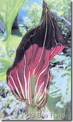 Sue Reno, Jack In The Pulpit, Work In Progress 5