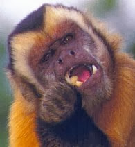 capuchin, a New World monkey
