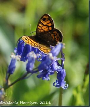 wall-butterfly (2)