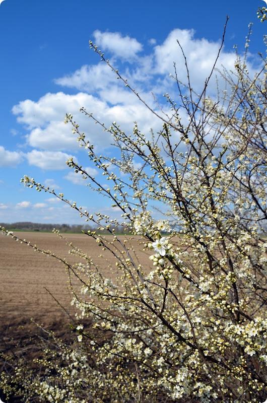 Kirschblüten (03) am Rhein zum kleinen Dienstag