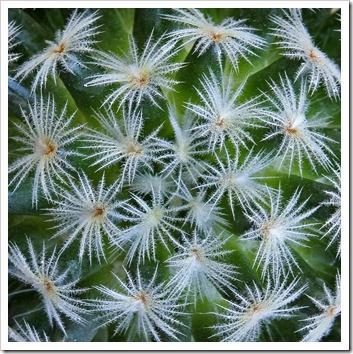 110804_Mammillaria-crinita-duweii_05cu