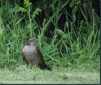 4 sparrowhawk-2