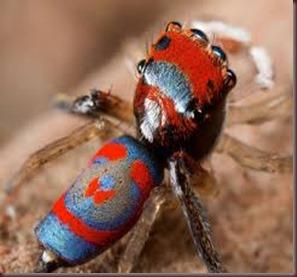 Amazing Pictures of Animals, photo, Nature ,exotic, funny, incredibel, Zoo, Maratus volans,  Peacock spider or Gliding spider, Alex (26)