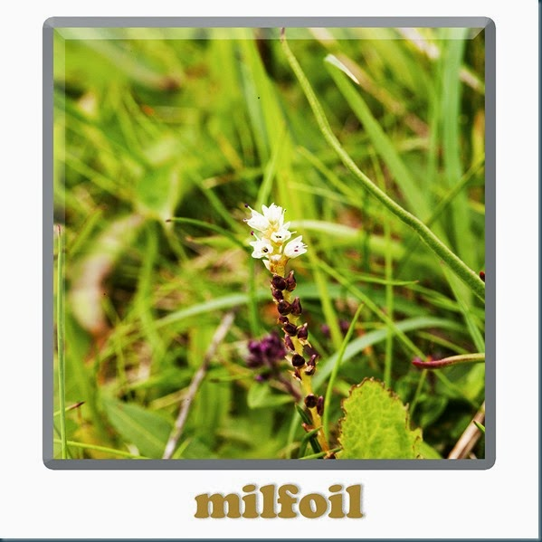 Milfoil
