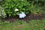 Well look at this Francesca!  One of the first hydrangeas of the season - a delicate shade of periwinkle.
