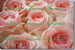 DSC01269.JPG blommor Rosa rosor med Amoristerna Amorism