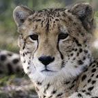 Gepardengesicht, Botswana © Foto: Dana Allen | Wilderness Safaris