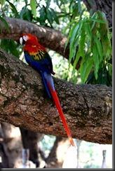 LL - Wild macaw