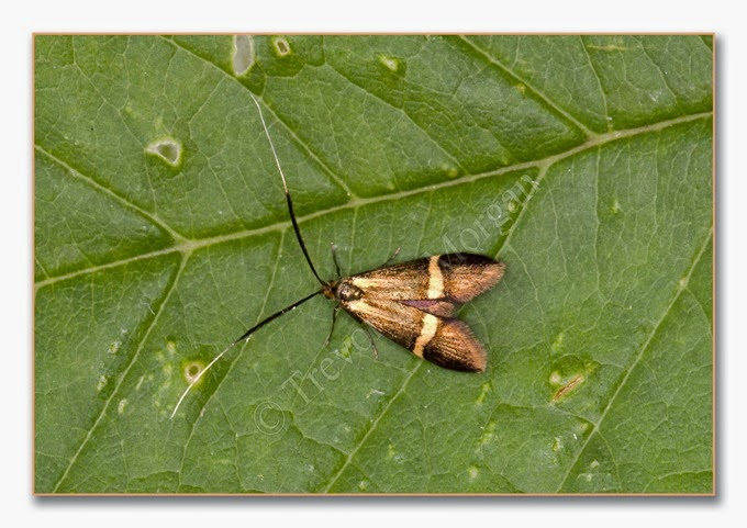 Day Moth 3  Small Barred Long-horn