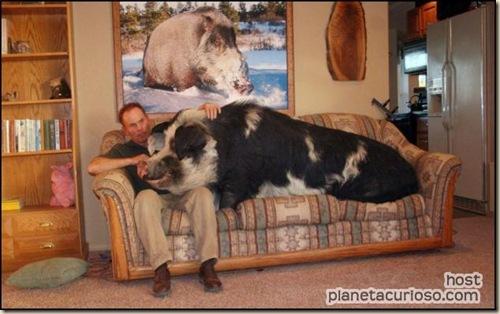 cerdo-de-mascota ateismo