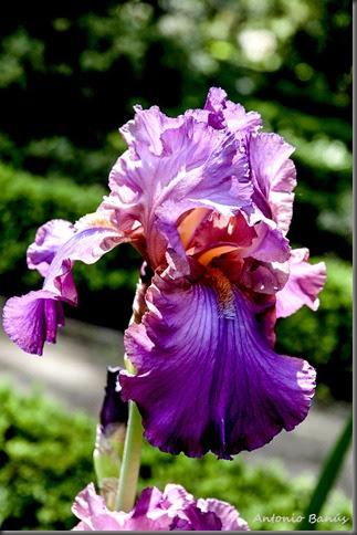 2 iris cranberry ice _dsc8326x1