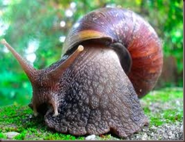 Amazing Pictures of Animals East African land snai,Achatina fulica,Mollusca. Alex (1)