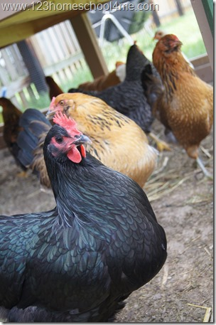 25 week old Chickens - Black Austrolorp