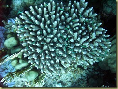 Coral with small fish