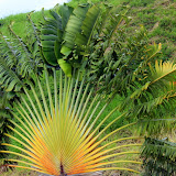 Fan Palm Along The Hillside - Basseterre, St. Kitts