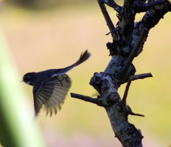 Grey Fantail taking flight