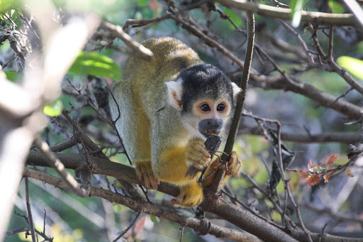 Yellow squirrel monkey eating a tasty insect