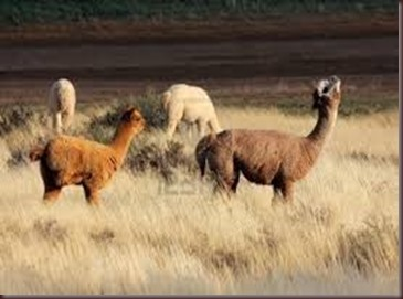 Amazing Pictures of Animals, photo, Nature exotic, funny, incredibel, Zoo, Vicugna pacos, Alpaca, Alex (22)