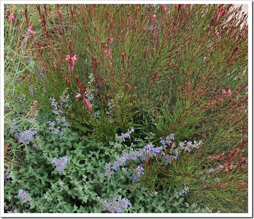 130601_Gaura- -Nepeta-Walker-Low