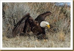 - Bald Eagle February 19, 2012 NIKON D3S