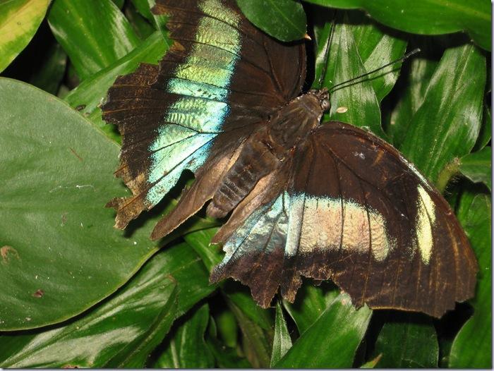 Farfalle 060