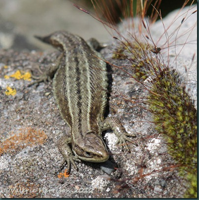Common-Lizard