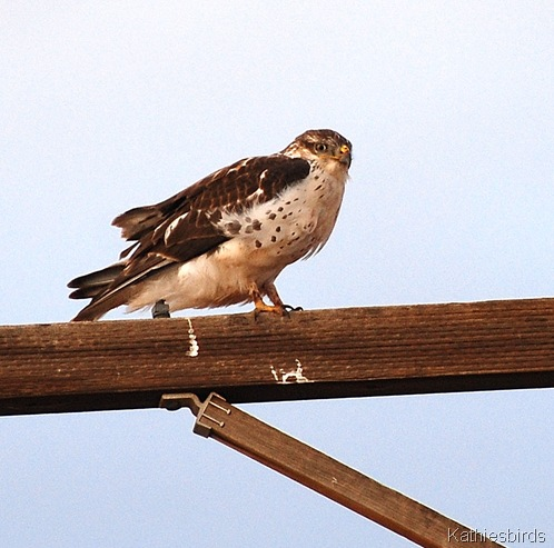 12. Ferruginous hawk Kansas settlement-kab