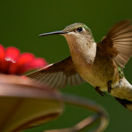 The Flyby by Roy Walter - Animals Birds ( flight, animals, nature, wings, birds, hummingbirds )