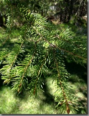 Needles of white spruce