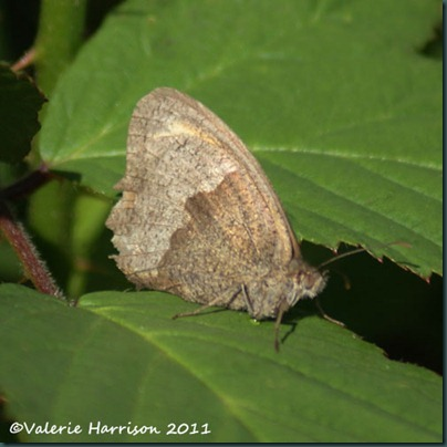 meadow-brown (2)