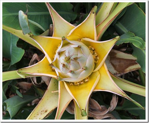 succulents and more golden lotus banana gets a radical trim. Black Bedroom Furniture Sets. Home Design Ideas