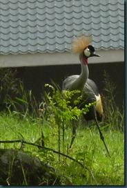crested crane 002
