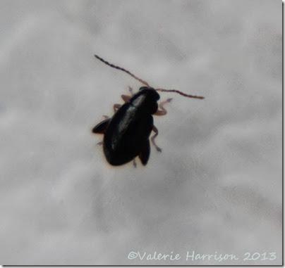 flea-beetle