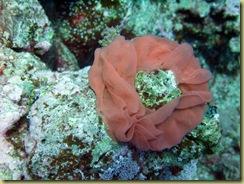 Nudibranch Eggs