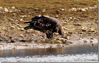 Juvenile eating a fish