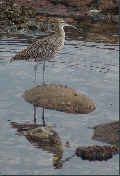 18 Curlew-Dunbar