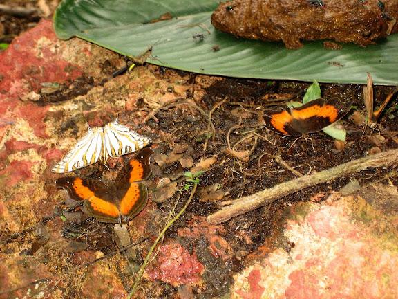 Precis milonia FELDER & FELDER, 1867, mâles. Cyrestis camillus camillus FABRICIUS, 1781 (à gauche). Atewa Hills. Ghana, 8 janvier 2006. Photo : Henrik Bloch