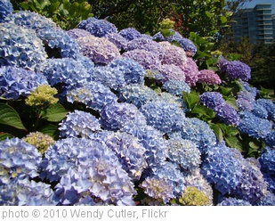'20100719_StanleyPkSeawall_Hydrangea_Cutler_DSC06120' photo (c) 2010, Wendy Cutler - license: http://creativecommons.org/licenses/by/2.0/