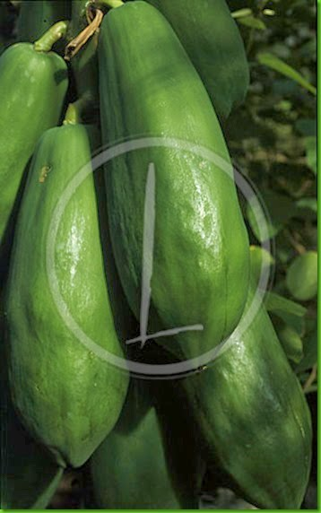 carica_papaya_006