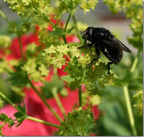 garden-bee-on-l-mantle-june08