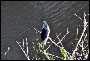 14i - At the tower - Black-crowned Night-Heron